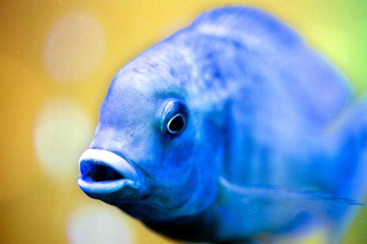 A brand new business in the Phoenix, Arizona area, Seatech H2O delivers RODI water for fish tanks to help ensure the most adequate environment for saltwater aquariums and freshwater aquariums. This blue Malawi cichlid looks excited to hear about it.