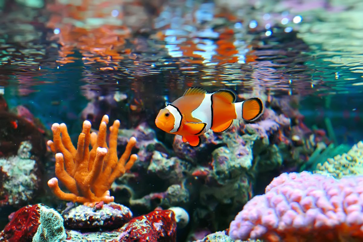 This clownfish is living the life among coral. Using RODI water is one way to help keep your livestock safe and sound.