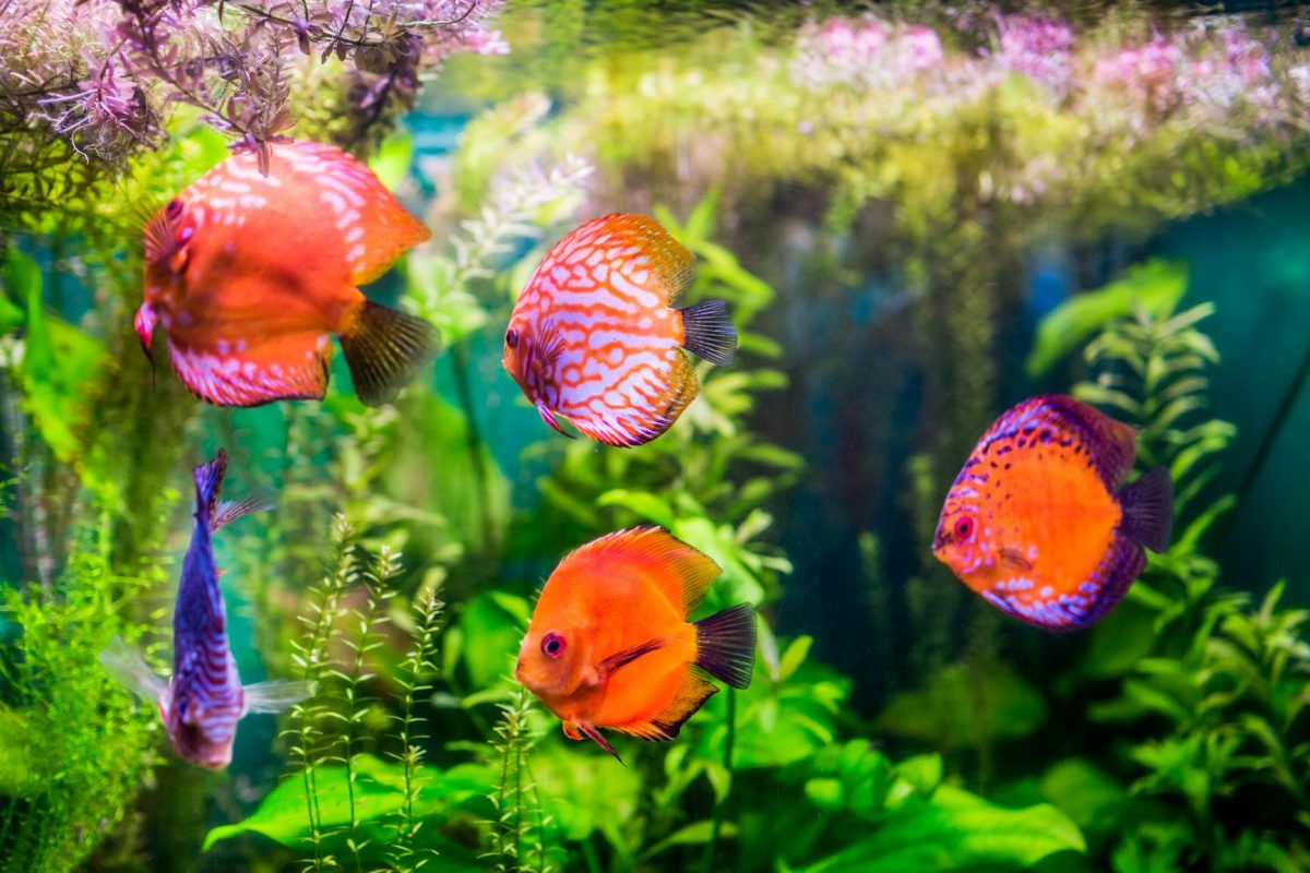 There are several benefits of having a little algae in a fish tank. You just have to control it with proper aquarium maintenance.