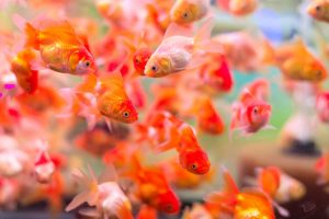 Changing aquarium water is critical to the health of your fish and other animals in the fish tank.