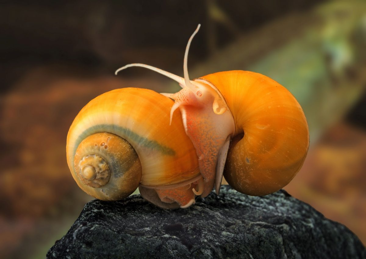 Snails can help clear algae in a fish tank, but they multiply quickly and can clog aquarium filters.