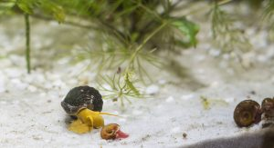 Regularly changing the water can help prevent snail infestations in your aquarium, which is depicted in this image.