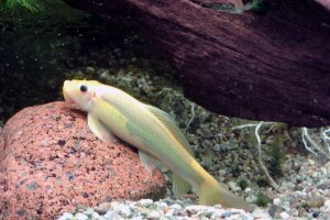 A Siamese algae eater is one of the most popular bottom dwellers to help keep your fish tank water cleaner.