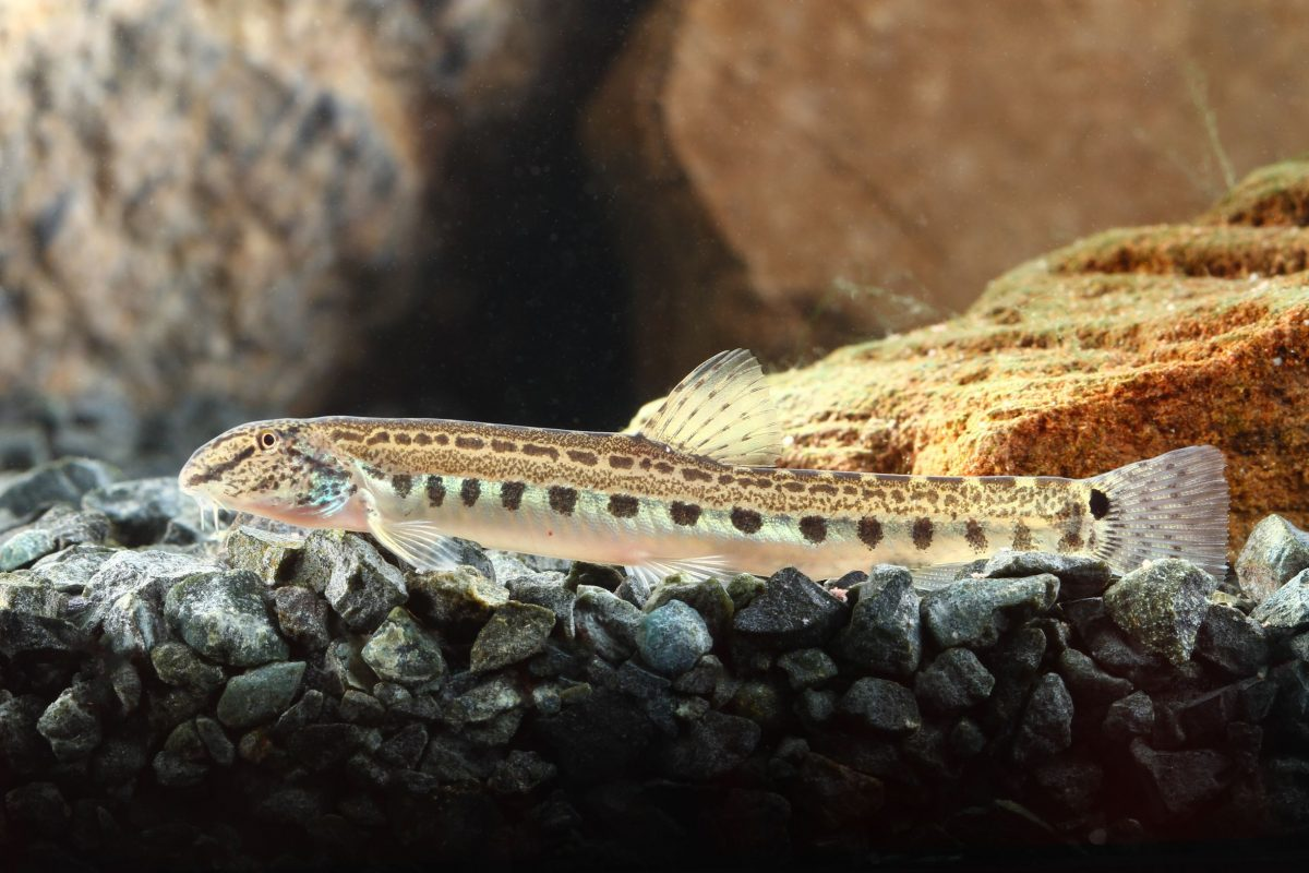 Some loaches are excellent bottom dwellers to help keep your fish tank water cleaner.