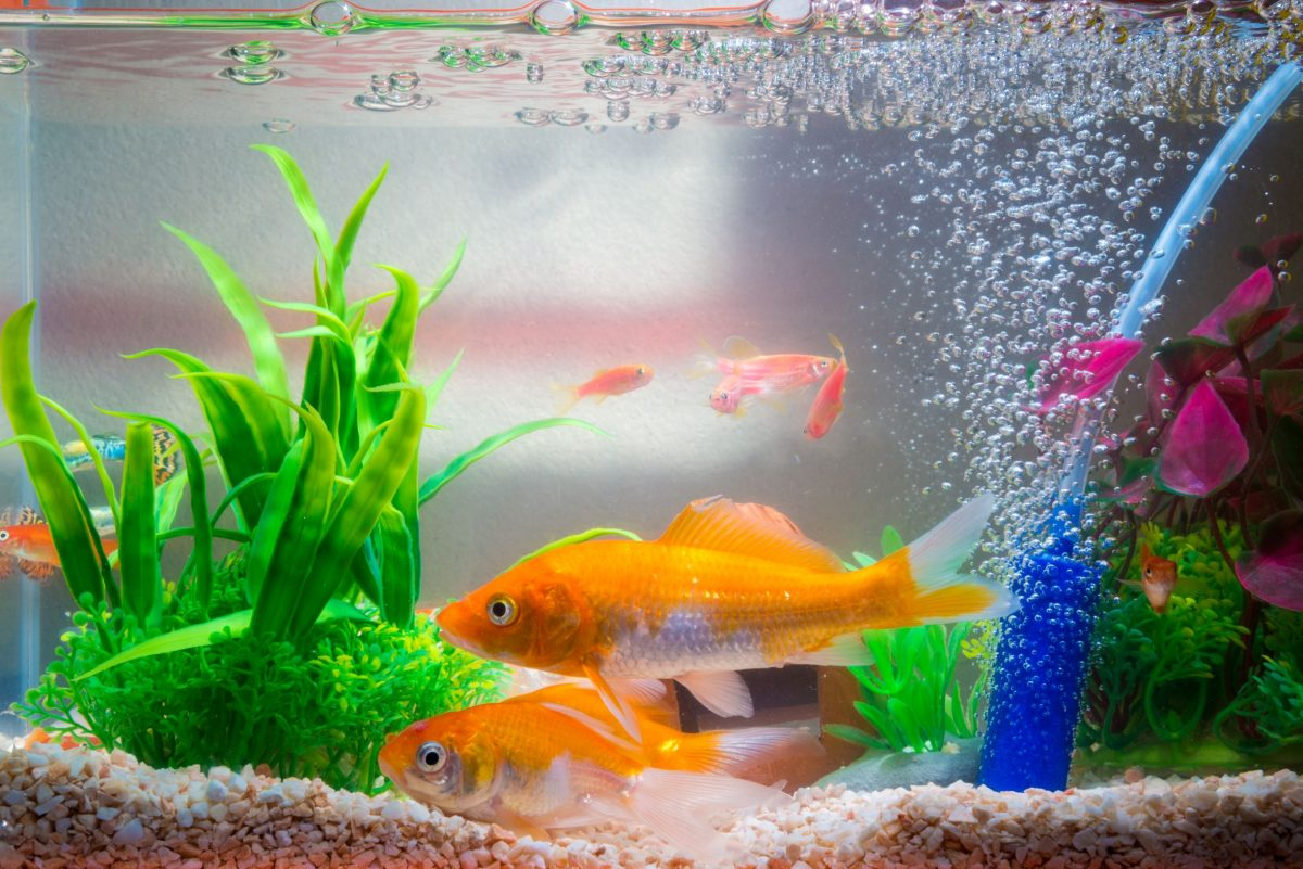 Ultraviolet sterilizers for aquariums can help rid the water of microorganisms, but there are several pros and cons.