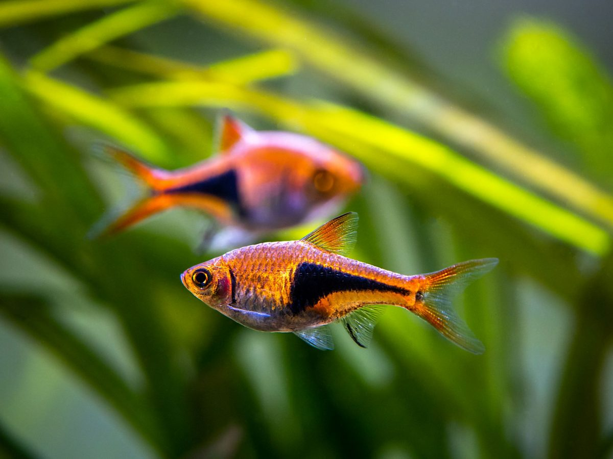 Harlequin rasboras are shown here. Rasboras are some of the easiest fish to take care of in an aquarium. Based on these basic facts and care tips, it's easy to see why these are popular fish for beginners.