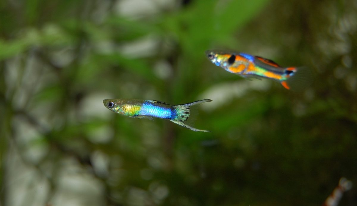 Contact us for RODI water delivery for freshwater aquariums in Phoenix, Arizona. This is an image of two guppies in a freshwater fish tank.